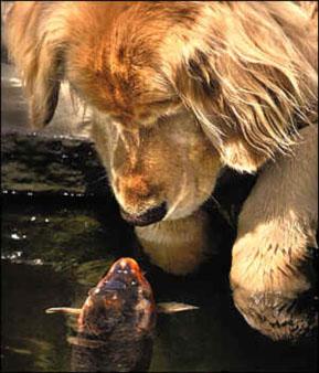 Fast Buddies: Falstaff the fish and Golden Chino
