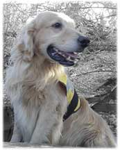 Golden SAR Dog Shane